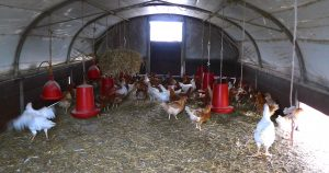 Chickens are free to stay inside in the warm or pop outside for a scratch around